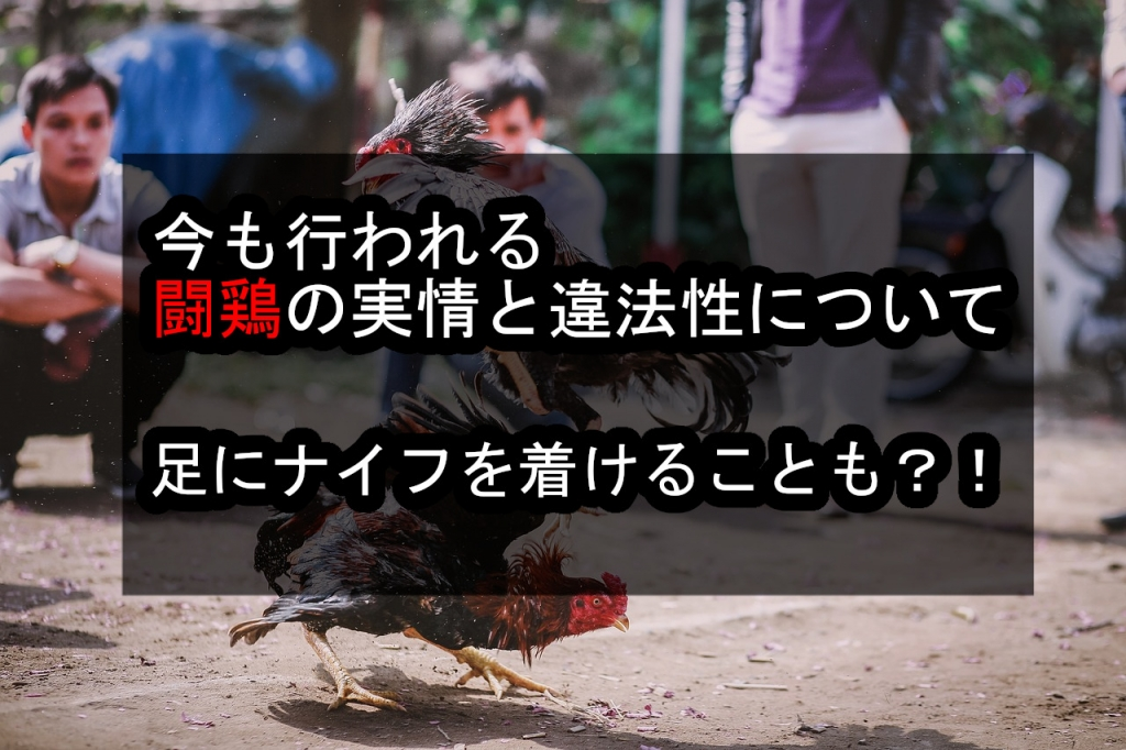 今も行われる闘鶏の実情と違法性について。足にナイフを付けることも!!